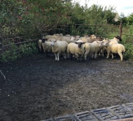 英国8月份羊肉产量下降了16%