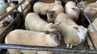 Sheep trade: Factories looking to take the heat out of the trade again