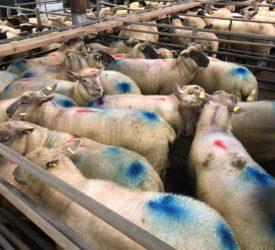 Sheep kill: Last week's throughput amounts to 64,197 head