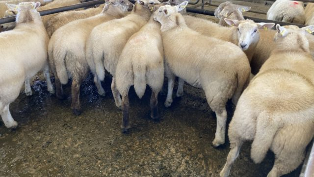 'Extremely tight' lamb supplies swing control 'in farmers' favour'