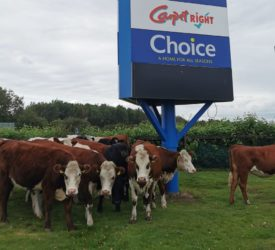 Shoppers corral loose heifers for an hour…in Naas carpark