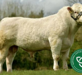 ICBF unveils 'high index beef bulls' panel for Autumn 2021