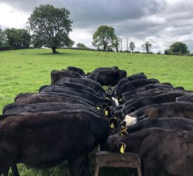 The new CAP: €20/head for rearing dairy-beef calves