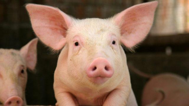 Virtual Pig Week to get underway tomorrow