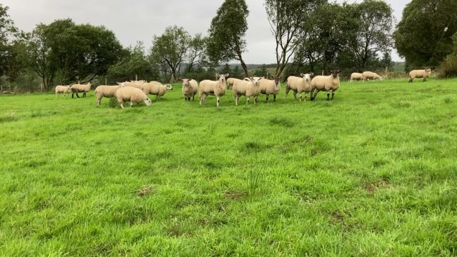 Sheep trade: Factory demand for lambs remains strong, as quotes rise another 10c/kg
