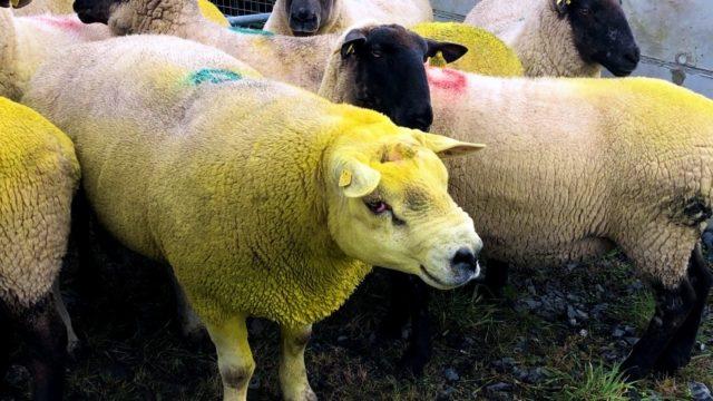 Raddling rams this breeding season: Why it is a must
