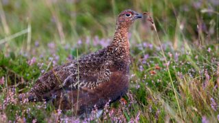 €120k to be spent on survey of red grouse in bogs and heaths