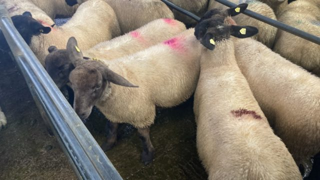 Sheep kill: Throughput for last week rises to over 60,000 head again